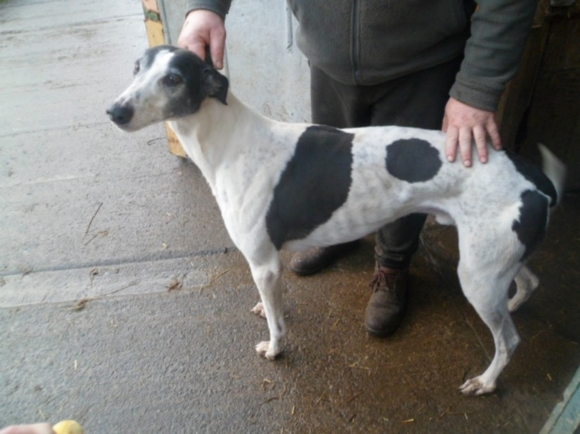 Just one of the greyhounds in danger